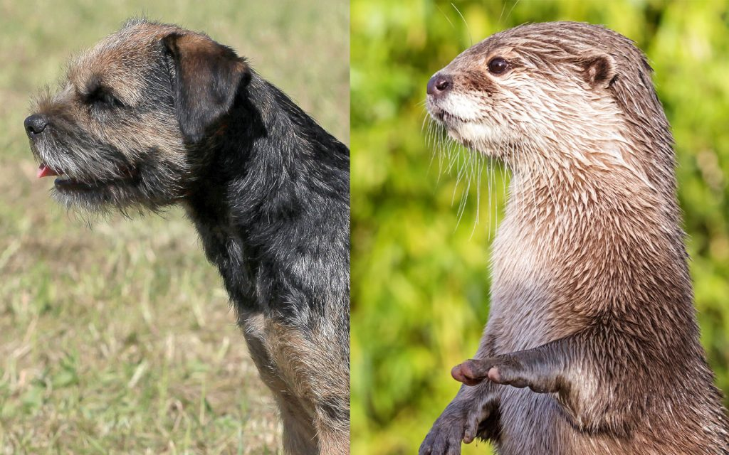 Otter Border Terrier Head Comparison