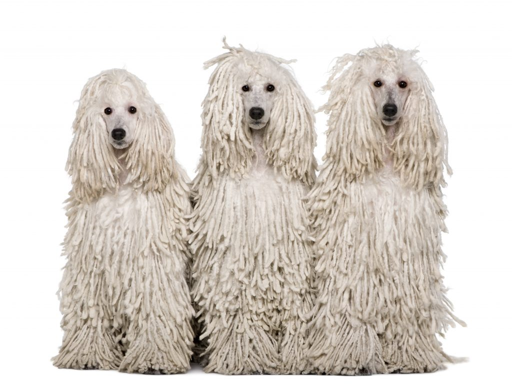 Long/Corded Poodle Coat